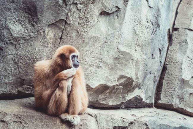 Ein einsamer Gibbon Affe.