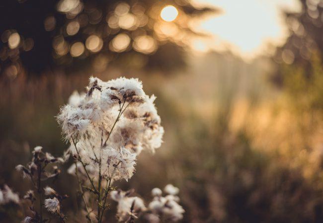 Heidewolle zur goldenen Stunde in der Wahner Heide bei Köln