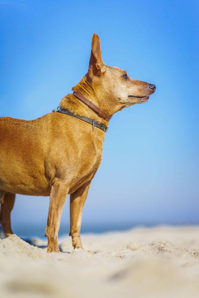 Ein Pinscher am Strand